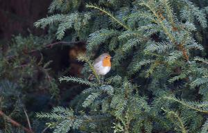 Robin in Yew tree