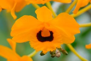 Dendrobium gouldii